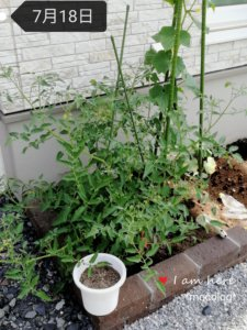 ミニトマトとキュウリの成長の様子