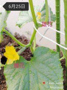 キュウリの雄花と雌花