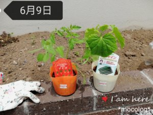 ミニトマトとキュウリの苗