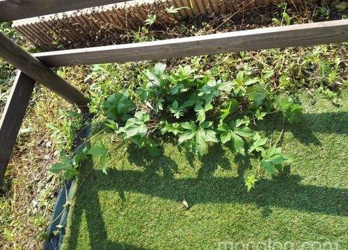 防草シートの脇から雑草が進出…