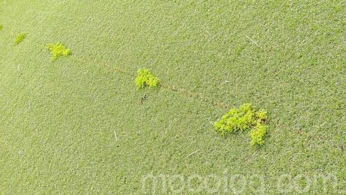 防草シートの隙間の雑草